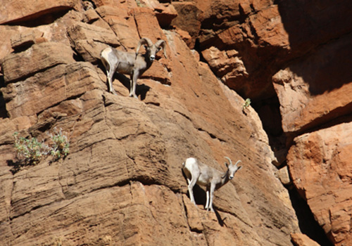 Bighorn Sheep on a Red Rock Canyon Scooter Tour