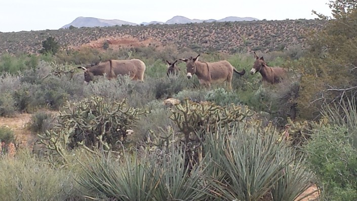 Wild Burro Family in Red Rock Canyon