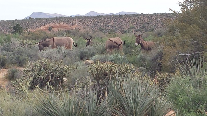 Wild Burros in Red Rock Canyon